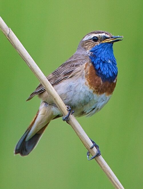 Bluethroat, common visitor in April and May, click here for all our checklists