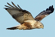 Rough Legged Buzzard, Oostvaardersplassen